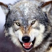 mongoliawolf